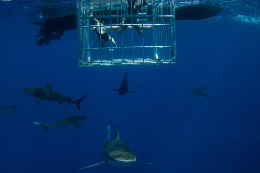 Shark Dives Oahu Shaka Guide